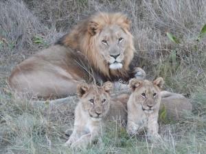 Eine Begegnung mit dem König der Tiere
