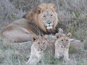 Männlicher Löwe mit zwei Jungen