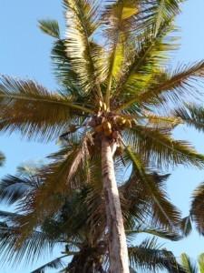 Eine Kokosnusspalme am Strand von Mosambik