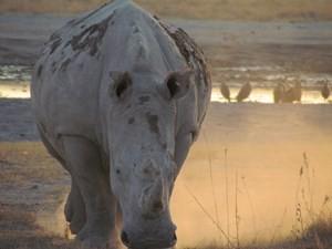 Botswana - Chobe Nationalpark - Nashörner in Botswana