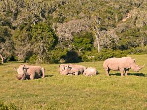 Nashörner auf Ihrer Safari - Port Elizabeth Safari
