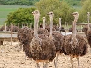 Eine Gruppe Strauße in Oudtshoorn