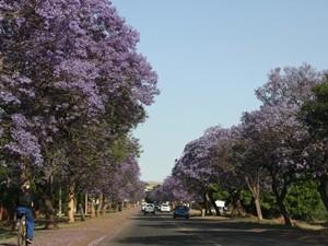 Jacaranda Bäume entlang der Straße