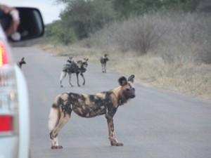 Südafrika - Krüger Nationalpark - Wildhunde auf der Straße im Nationalpark - Nordosten Südafrika
