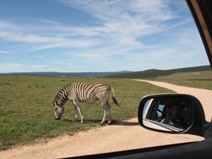 Tourist fotografiert Zebra aus dem Auto heraus