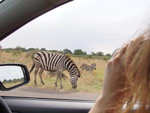 3 Wochen Südafrika - Zebras auf Safari entdecken - Südafrika in 3 Wochen
