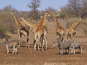 Südafrika-Krüger-Nationalpark-Giraffen-und-Zebras-im-Busch