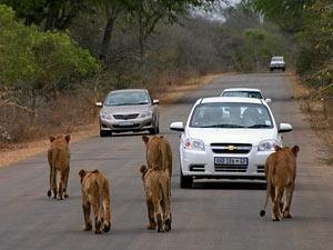 Löwinnen laufen über die Straße des Krüger Nationalparks
