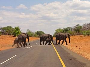 Elefanten überqueren die Straße im Chobe Nationalpark