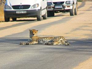 3 Wochen Südafrika - Ein Gepard liegt auf der Straße im Krüger Nationalpark