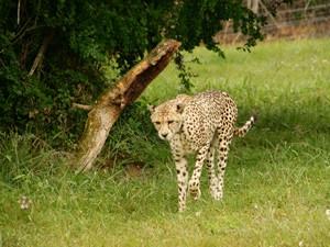 Südafrika Port Elizabeth Safari - Gepard im privaten Reservat