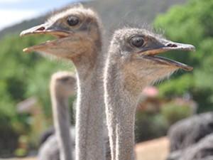Südafrika-heidelberg-strausse