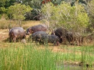 Südafrika-hippos-in-st-lucia