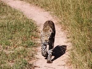 Südafrika-leopard-sabi-sands-Game-Reserve