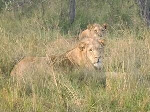 Löwen während Ihrer Fotosafari in Südafrika