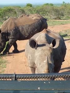 Begegnung mit einem Nashorn