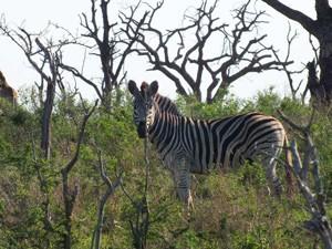 Zebra im Mkhaya Game Reserve
