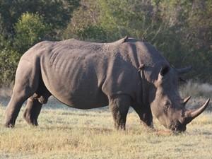 Südafrika-nashorn-hluhluwe-Nationalpark