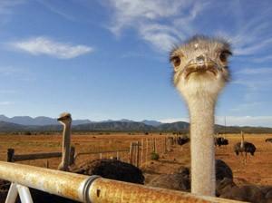 Südafrika - Oudtshoorn - Strauße auf einer Farm - Südafrika Garden Route