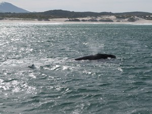 Hermanus - der bekannteste Ort für Wale