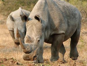 Nashörner auf Ihrer Safari in Südafrika