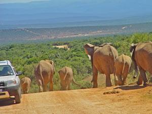 Safari im Addo-Elephant-Park in Südafrika