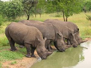 Südafrika-Nashörner-am-Wasserloch-im-Hluhluwe-Park