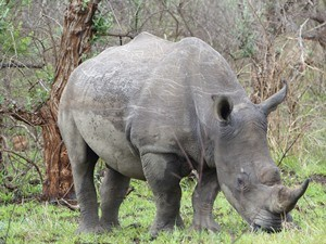 Südafrika - Ein Nashorn im Hluhluwe Nationalpark - Südafrika Rundreise 3 Wochen