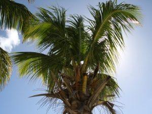 mauritius-palme