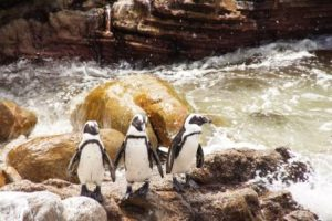 pinguine-in-hermanus