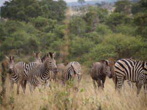 Südafrika - Krüger Nationalpark - Zebraherde im Busch - Südafrika und Mauritus