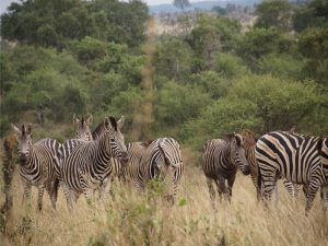 gruppe-zebras