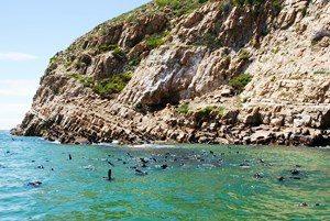 Südafrika - Plettenberg Bay - Tauchen mit Seehunden