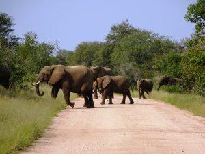 Südafrika - Krüger Nationalpark - Elefanten überqueren die Straße - Südafrika und Mauritius