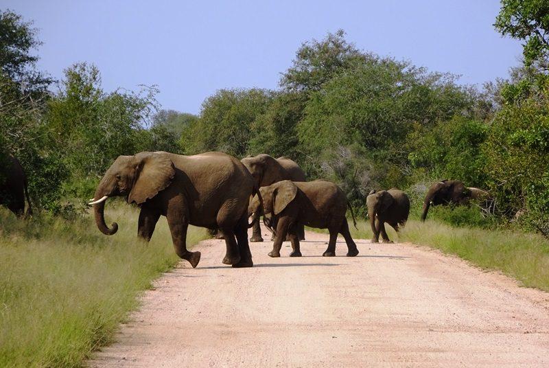 Südafrika - Krüger Nationalpark - Elefanten überqueren die Straße - Gruppenreise Südafrika