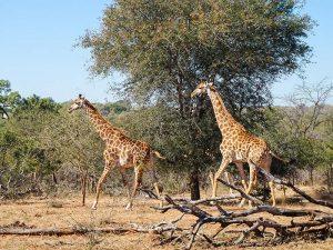 Südafrika - Waterberg Nationalpark - Giraffen rennen im Busch - Südafrika und Mauritus