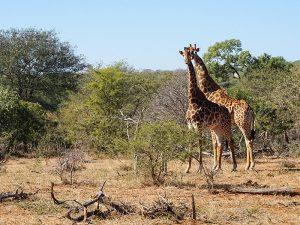 Giraffen im privaten Reservat