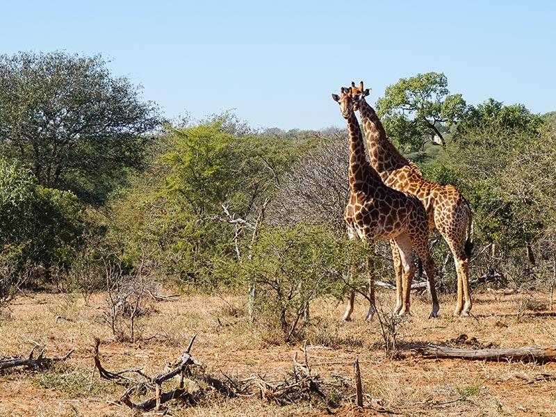 Südafrika Reisen Camping Krüger Nationalpark