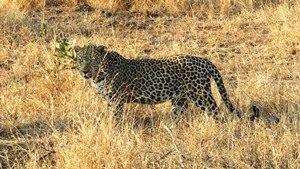 Südafrika - Leopard im Busch
