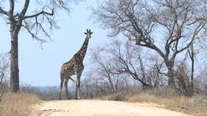 Südafrika - Krüger Nationalpark - Giraffe auf dem Weg