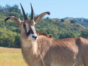Swasiland - Antilope im Busch - Mlilwane