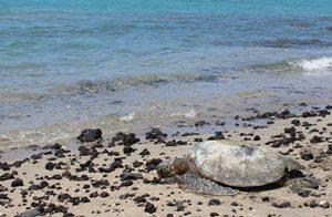 Lederschildkröte am Strand von Kosi Bay