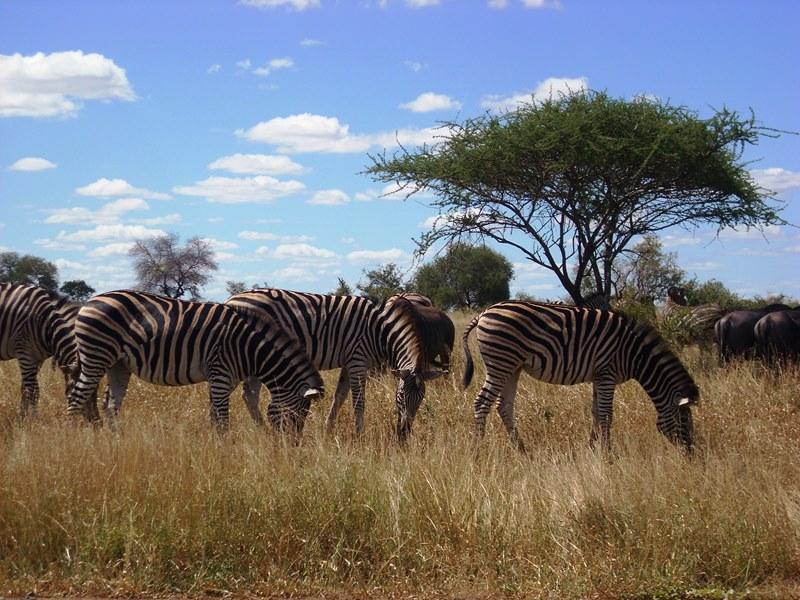 Südafrika Rundreisen Zebras Krüger Nationalpark
