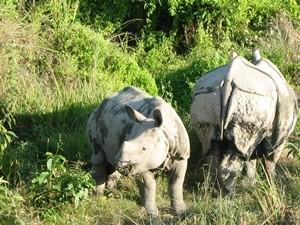Nashörner auf einer Safari durch den Chitwan Nationalpark
