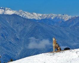 Heulender Wolf vor schneebedeckten Berggipfeln in Bhutan