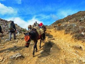 Packpferde auf dem Weg zum Camp