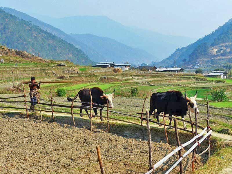 Ein Farmer mit Ochsengespann im Punakha Tal