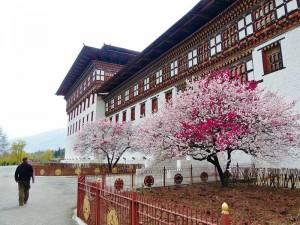 Blühende Kirschbäume vor dem Thimphu Dzong in Bhutan