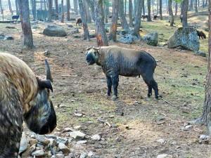 Takins im Wildgehege in Thimphu