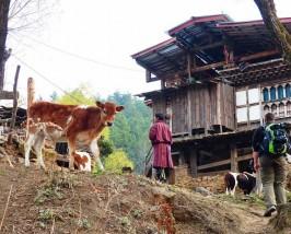 Ein einfaches bhutanesisches Farmhaus mit einer kleinen Kuhherde